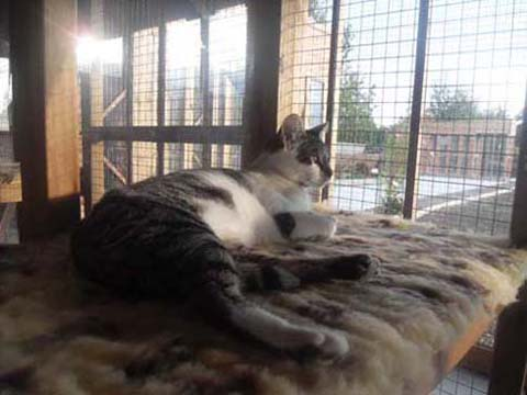 Relaxed Cat, Buttercup Cattery